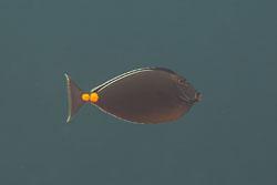 BD-130330-Tulamben-8149-Naso-lituratus-(Forster.-1801)-[Orangespine-unicornfish].jpg